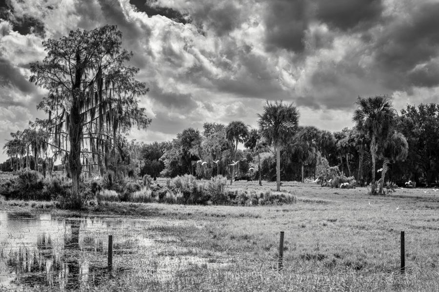 Südstaaten, Baum mit Louisanamoos, weiße Vögel, Palmen, b/w, s/w