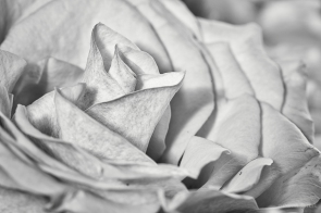 Rose, Blüte in s/w, b/w
