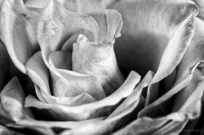 Rose, Blüte in s/w, b/w