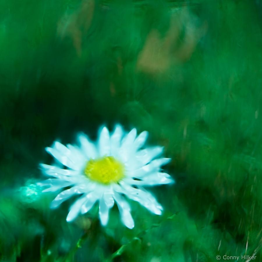 Gänseblümchen unter beschlagenem, blauem Glas fotografiert.