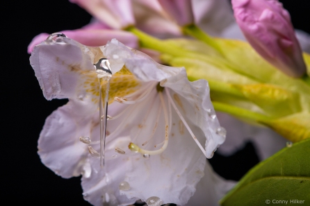 Honigtropfen läuft von einer Blüte herunter