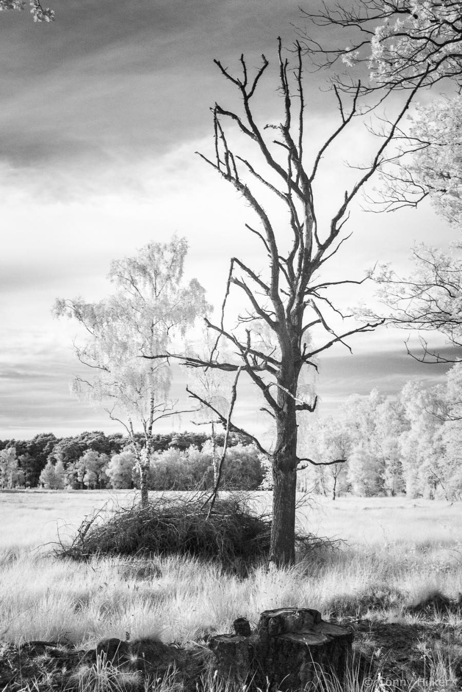 Kahler Baum in Infrarot