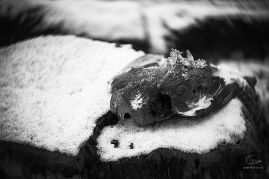Tote Taube auf Baumstamm im Winter